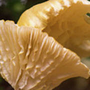 Two Cantharellus Poster