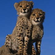 Two Cheetah Cubs Poster