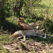 Two Cheetahs Poster