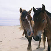 Two Curious Wild Horses On The Beach Poster by Nick Caloyianis