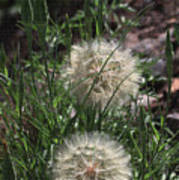 Two Dandelions, Poster