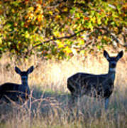 Two Deer In Autumn Meadow Poster