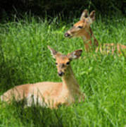 Two Deer In Tall Grass Poster