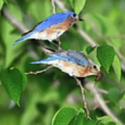 Two Eastern Bluebirds Poster