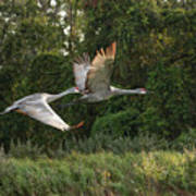 Two Florida Sandhill Cranes In Flight Poster