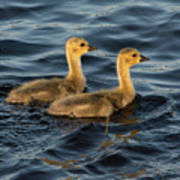 Two Goslings Poster