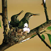 Two Hummingbird Babies In A Nest 5 Poster