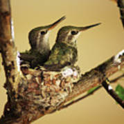 Two Hummingbird Babies In A Nest Poster