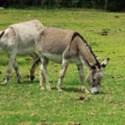 Two Jerusalem Donkeys In A Field Poster