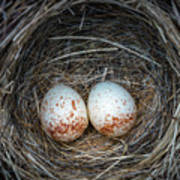 Two Junco Eggs In The Nest Poster