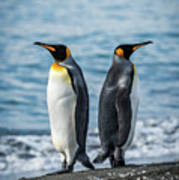 Two King Penguins Facing In Opposite Directions Poster