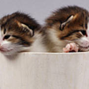 Two Kittens In A Wooden Bucket Poster