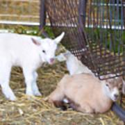 Two Little Goatlings Poster