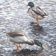 Two Mallard Ducks Standing In Water Poster