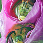 Two Metallic Green Bees Rolled Up In A Pink Flowers Petals Poster