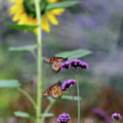 Two Monarch Butterflies And Sunflower 2011 Poster