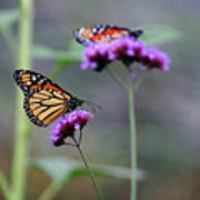 Two Monarchs On Verbena Poster