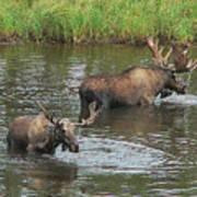 Two Moose Feeding Poster