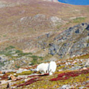 Two Mountain Goats On Mount Bierstadt In The Arapahoe National Fores Poster