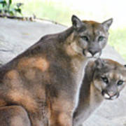 Two Mountain Lions Poster