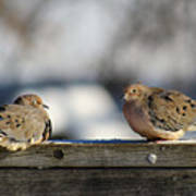 Two Mourning Doves Poster