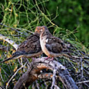 Two Mourning Doves H14 Poster