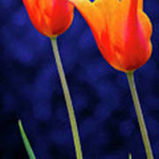 Two Orange Tulips On Blue Poster