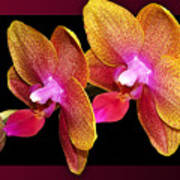 Two Orchids And A Bud Poster