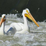 Two Pelicans At Horn Rapids Poster