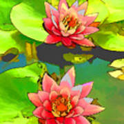 Two Pink Blooming Water Lilies  Poster