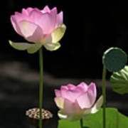 Two Pink Water Lilies Poster