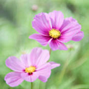 Two Purple Cosmos Flowers Poster
