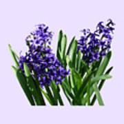 Two Purple Hyacinths Poster