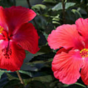 Two Red Hibiscus With Border Poster