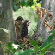 Two Red Shouldered Hawk Chicks Calling Mom  Poster