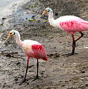 Two Roseate Spoonbills Poster