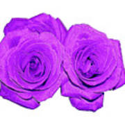 Two Roses Violet Purple And Enameled Effects Poster