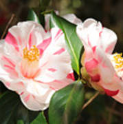 Two Striped Camellias Poster