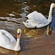 Two Swans On Spring Water Poster