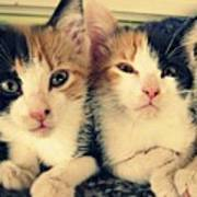 Two Tabby Cat Kittens Poster