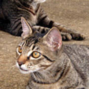Two Tabby Cats Poster