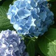 Two-toned Hydrangeas Poster