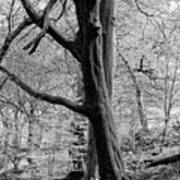 Two Trees In Spring - Mono Poster