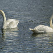 Two Trumpeter Swans At Oxbow Bend Poster