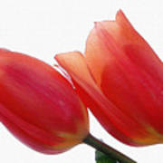 Two Tulips With Watercolour Effect Poster