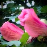 Two Unopen Pink Hibiscus Flowers Poster
