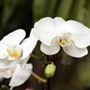 Two White Orchids Poster