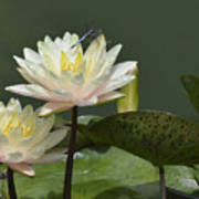 Two Yellow Water Lilies Poster