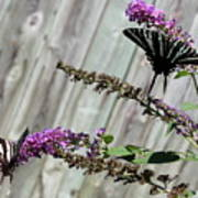 Two Zebra Swallowtail Butterflies Poster