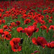 Umbria  Poppies 3 Poster